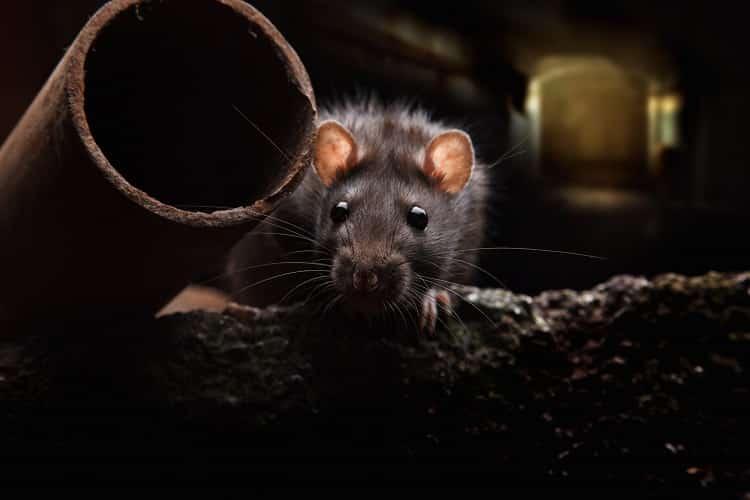 desratização em porto alegre controle de ratos em porto alegre controle de roedores em porto alegre